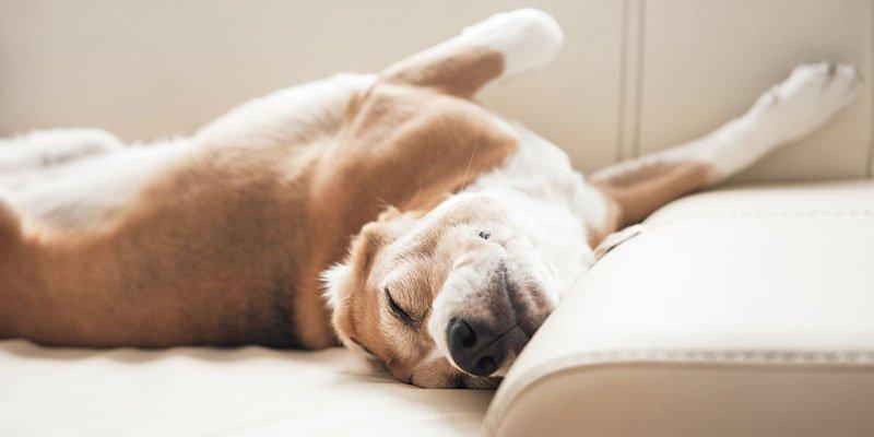 Hund schlaeft auf Couch
